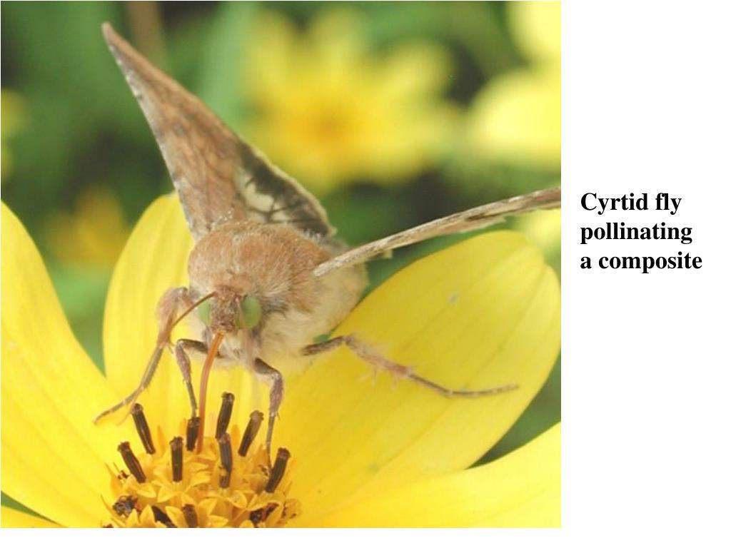 Cyrtid fly