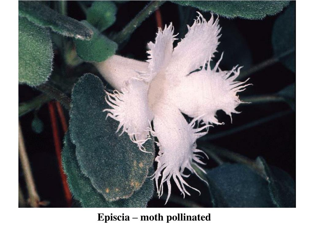 Episcia – moth pollinated