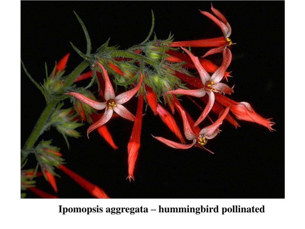 Ipomopsis aggregata – hummingbird pollinated
