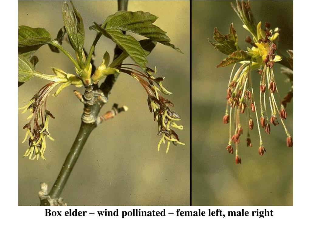 Box elder – wind pollinated – female left, male right