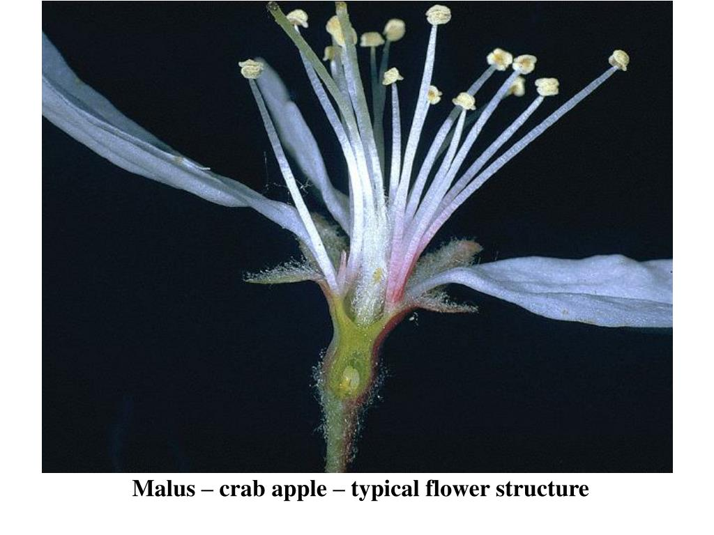 Malus – crab apple – typical flower structure