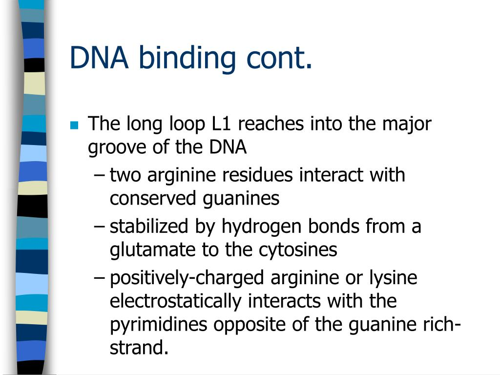 The long loop L1 reaches into the major groove of the DNA