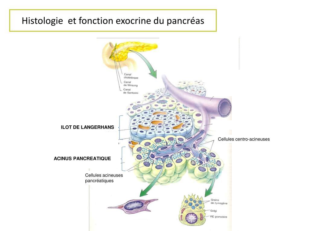 Histologie  et fonction exocrine du pancréas