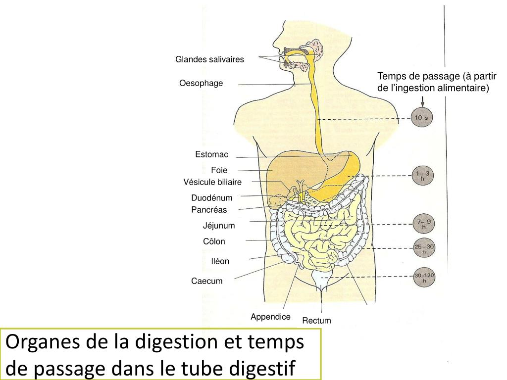 Organes de la digestion et temps