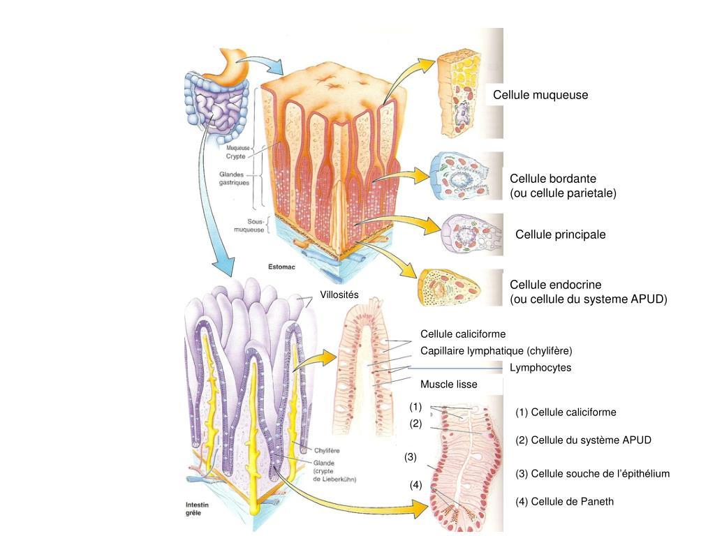 Cellule muqueuse