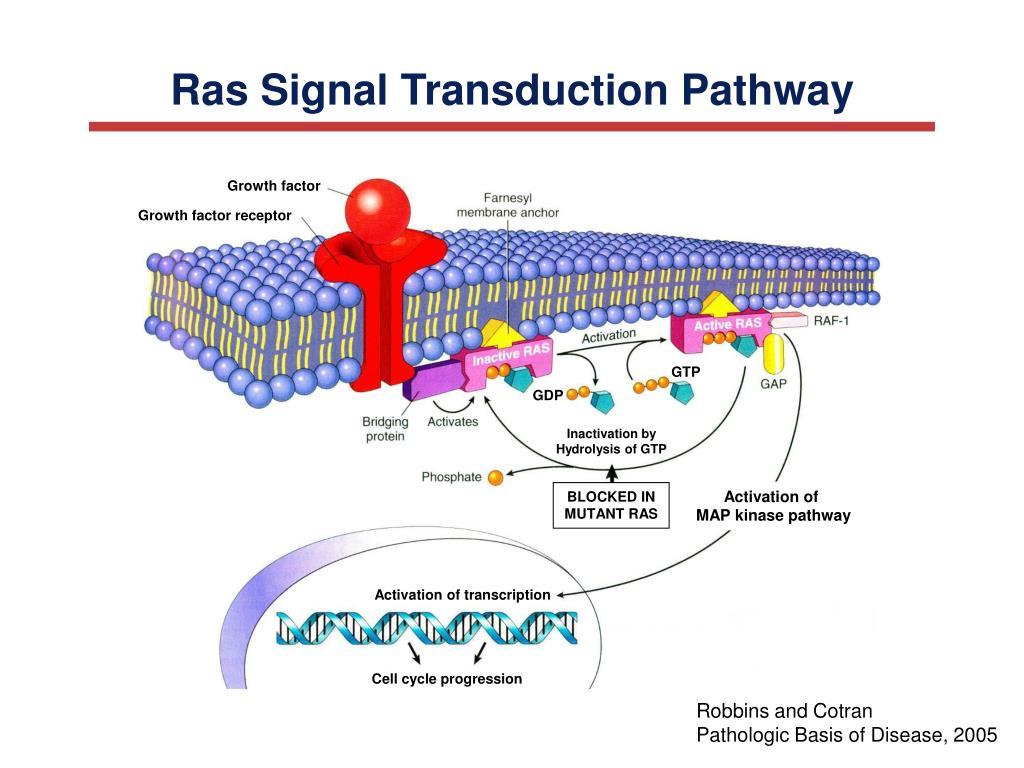 Ras Signal Transduction Pathway