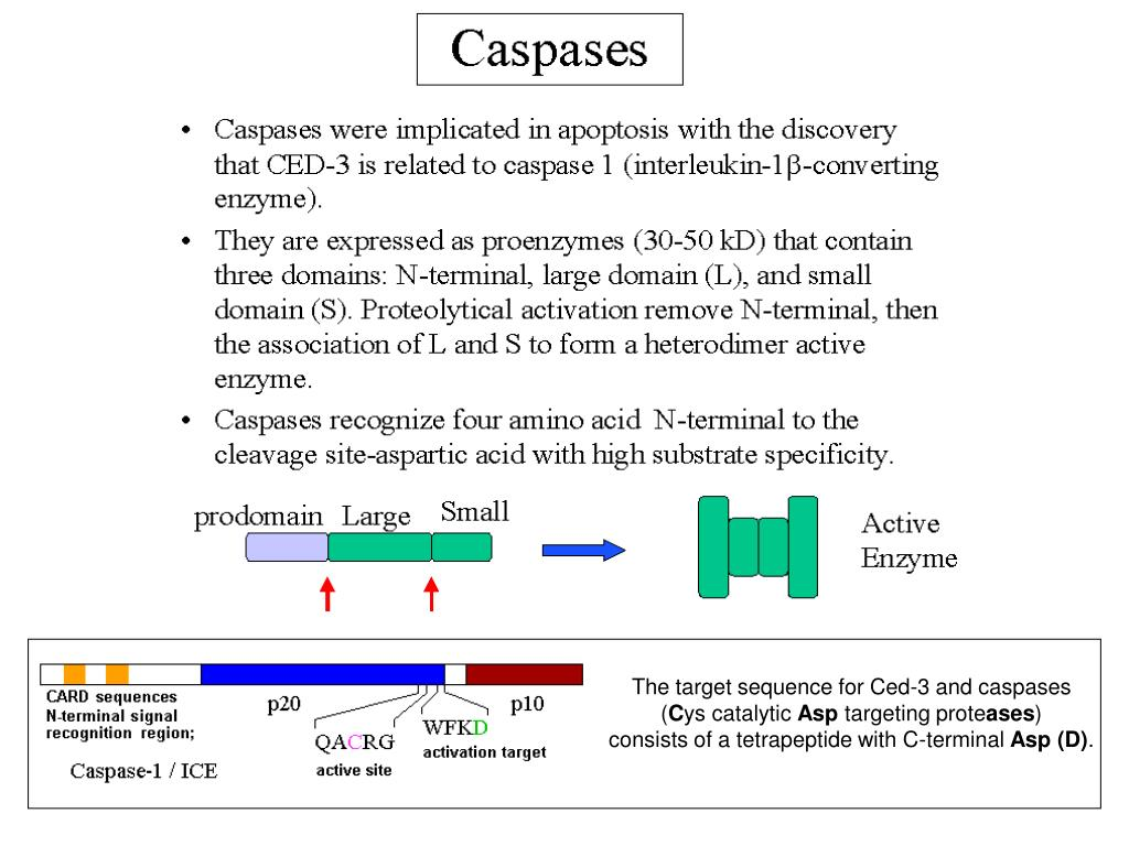 The target sequence for Ced-3 and caspases