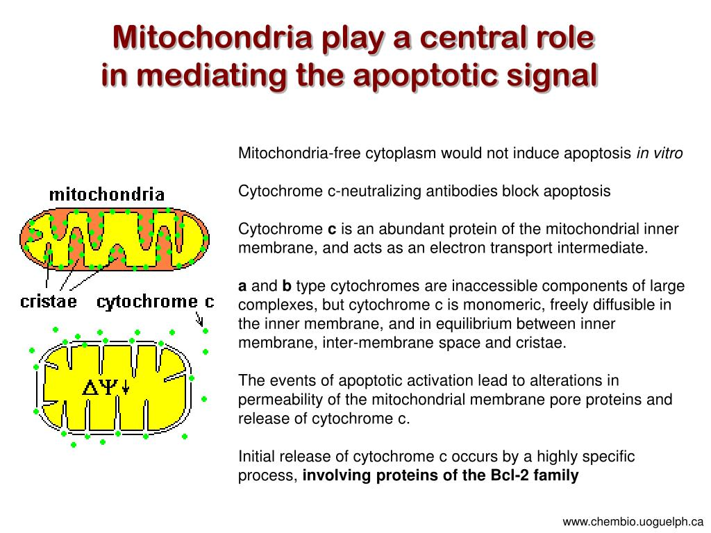 Mitochondria play a central role