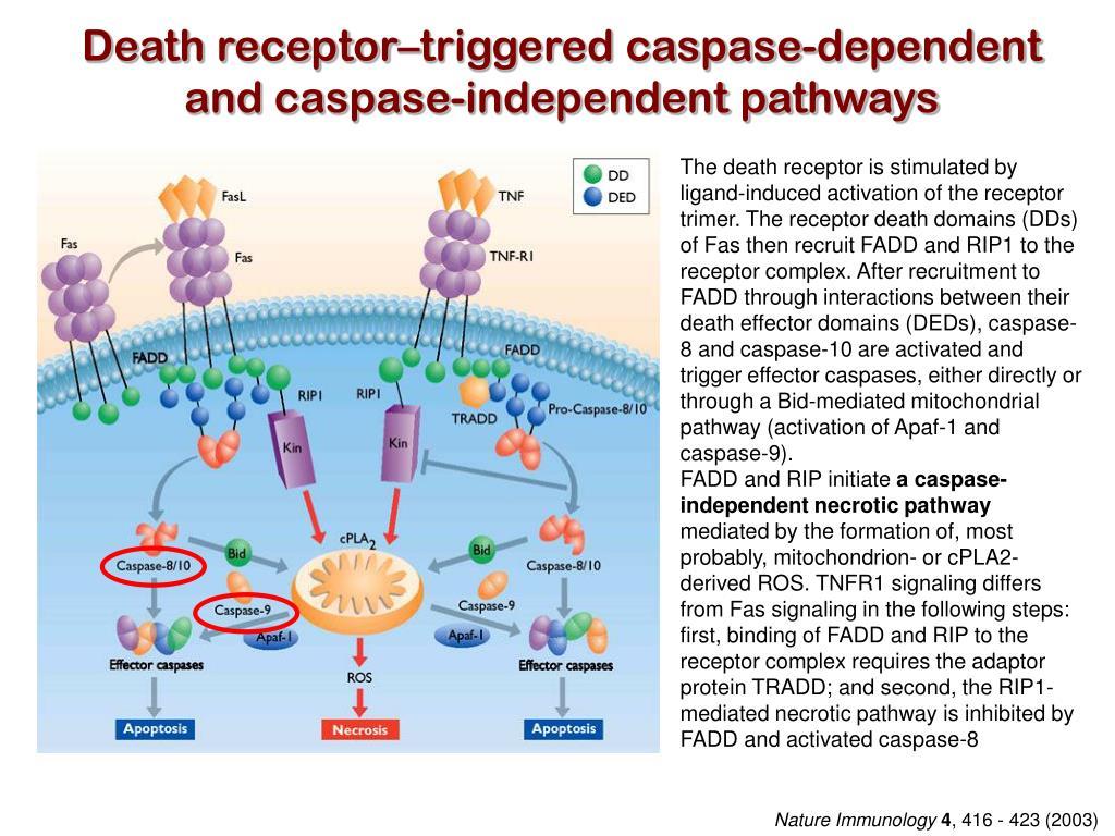 Death receptor–triggered caspase-dependent
