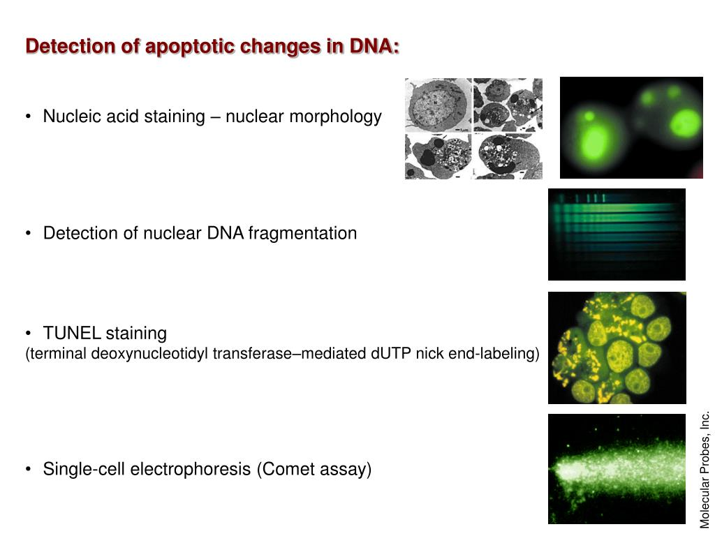 Detection of apoptotic changes in DNA: