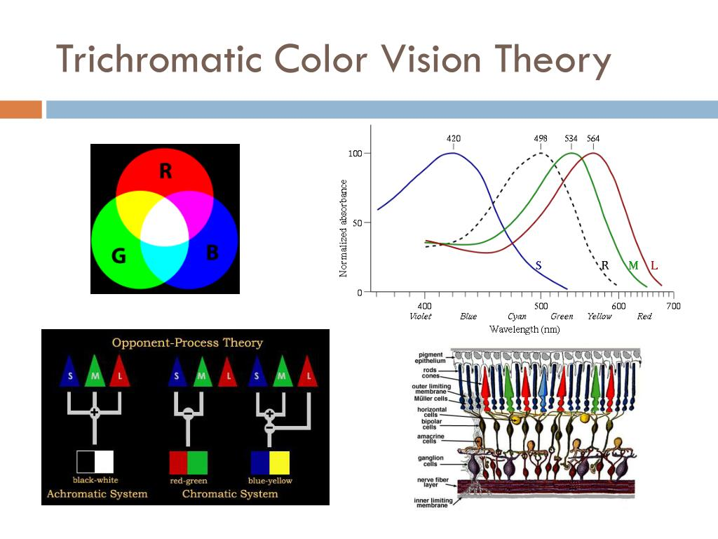 Trichromatic Color Vision Theory
