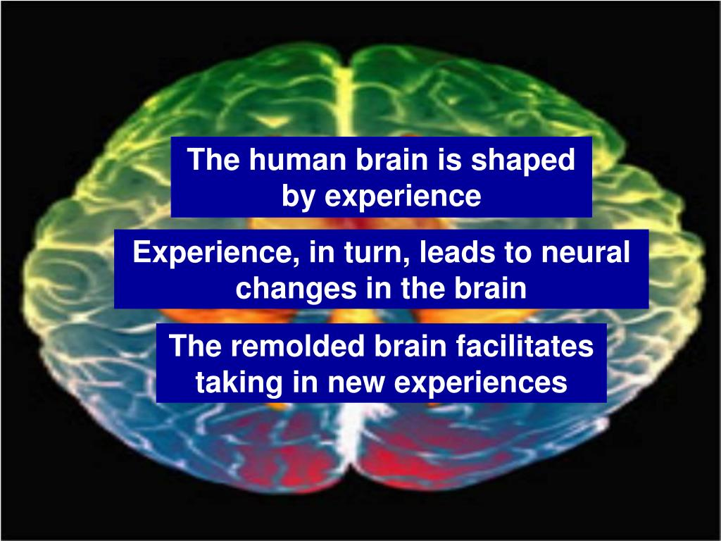The human brain is shaped by experience