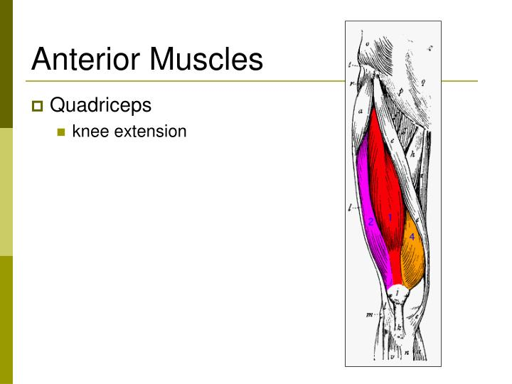 Anterior muscles l.jpg