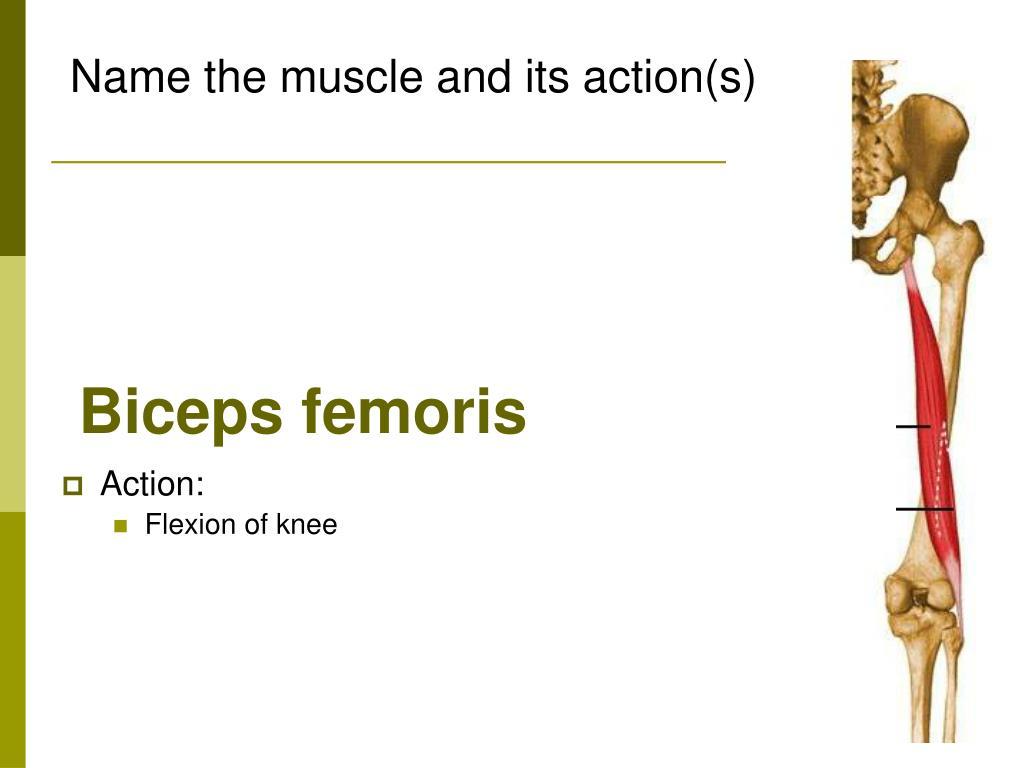 Biceps femoris