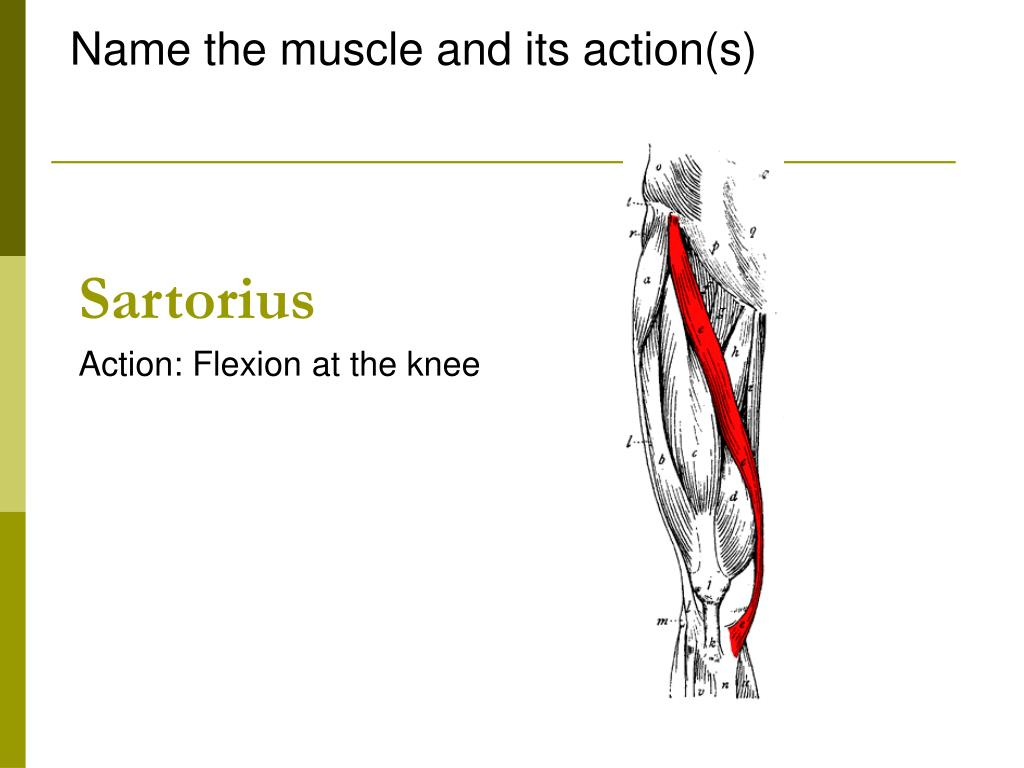 Name the muscle and its action(s)