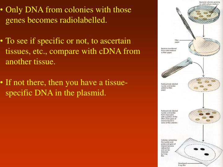 Only DNA from colonies with those genes becomes radiolabelled.