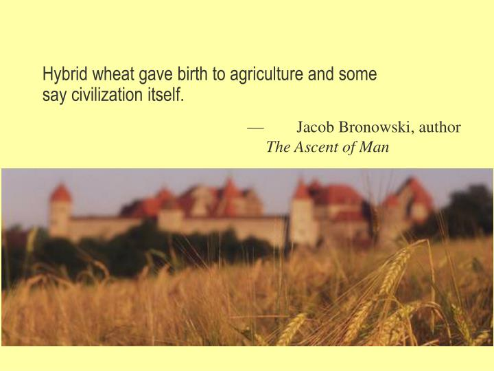 Hybrid wheat gave birth to agriculture and some say civilization itself.