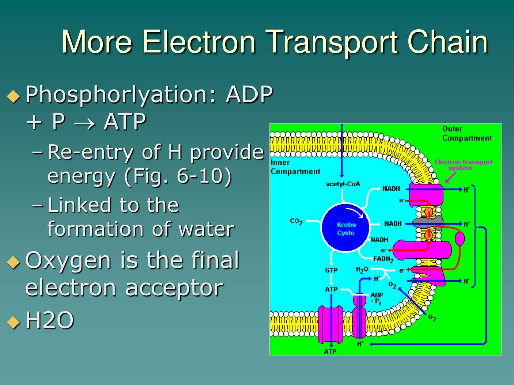 Phosphorlyation: ADP + P