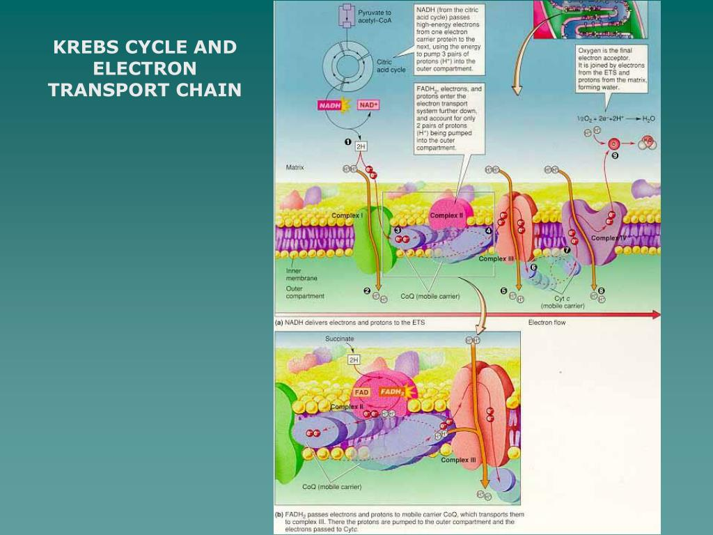 KREBS CYCLE AND ELECTRON TRANSPORT CHAIN