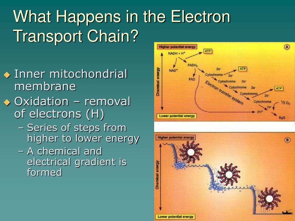 What Happens in the Electron Transport Chain?