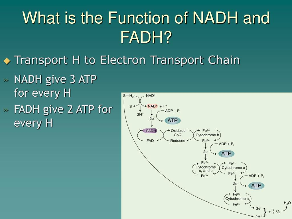 What is the Function of NADH and FADH?
