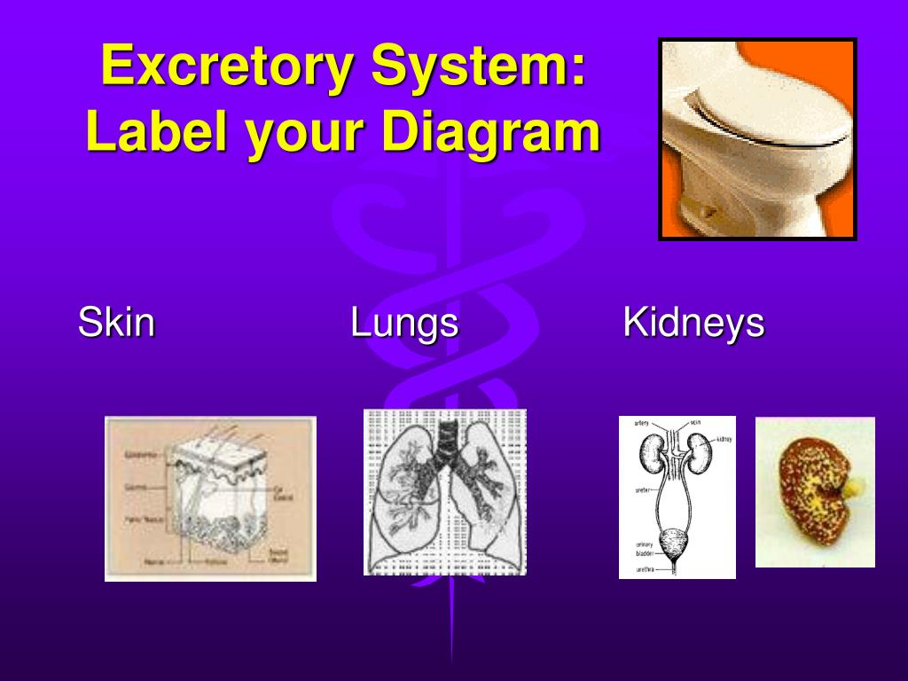 Excretory System:  Label your Diagram