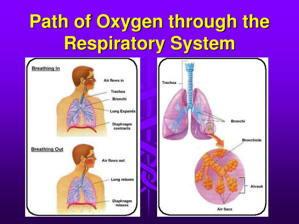 oxygen molecule journey through the respiratory The main function of the respiratory system is to provide oxygen at the center of each hemoglobin molecule they expel that oxygen through their.