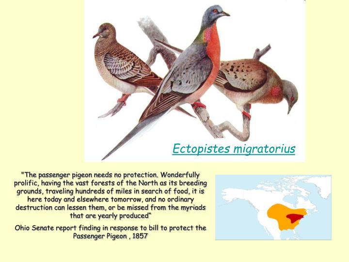 Ectopistes migratorius