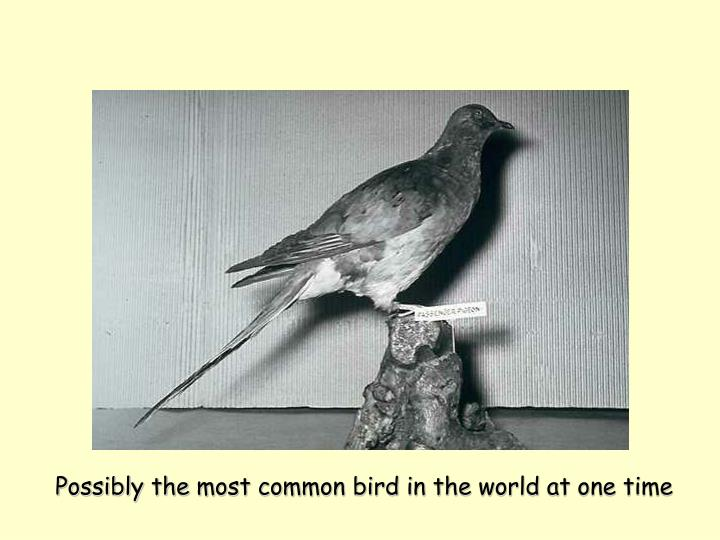 Possibly the most common bird in the world at one time