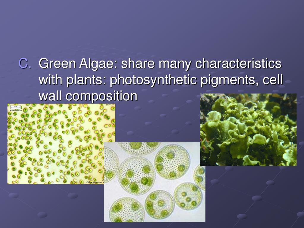 Green Algae: share many characteristics with plants: photosynthetic pigments, cell wall composition