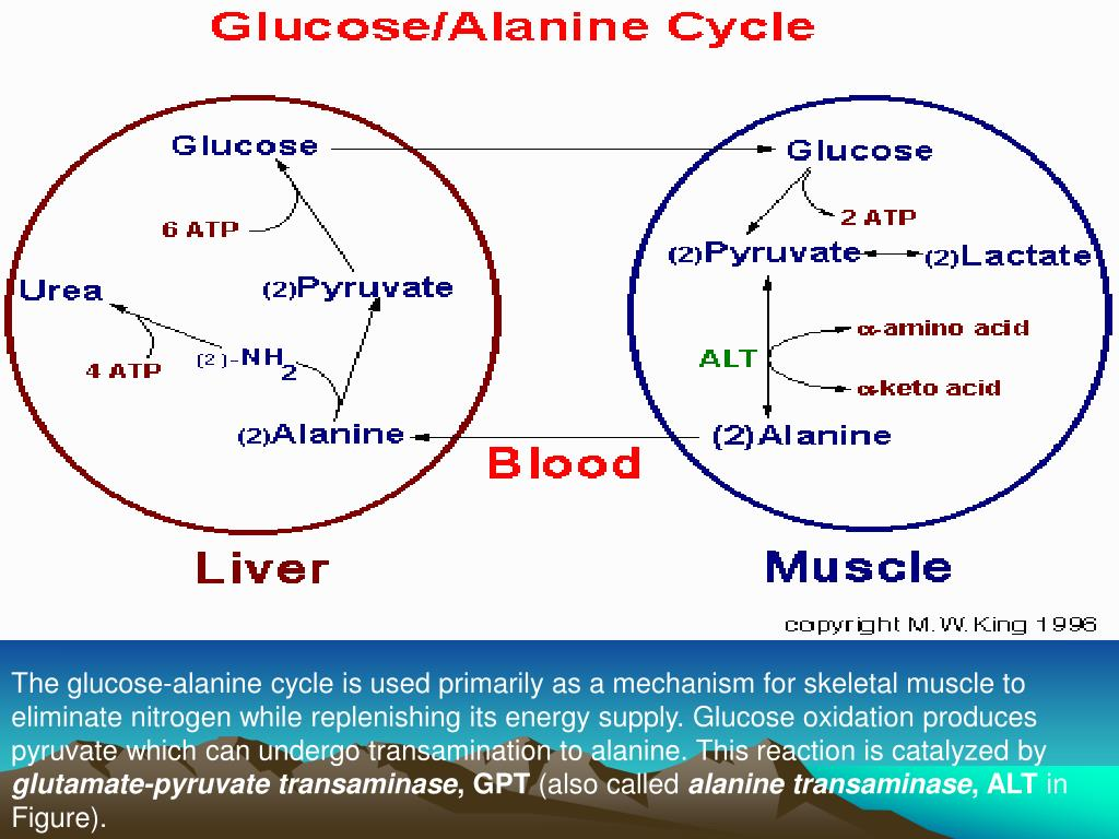 The glucose-alanine cycle is used primarily as a mechanism for skeletal muscle to eliminate nitrogen while replenishing its energy supply. Glucose oxidation produces pyruvate which can undergo transamination to alanine. This reaction is catalyzed by