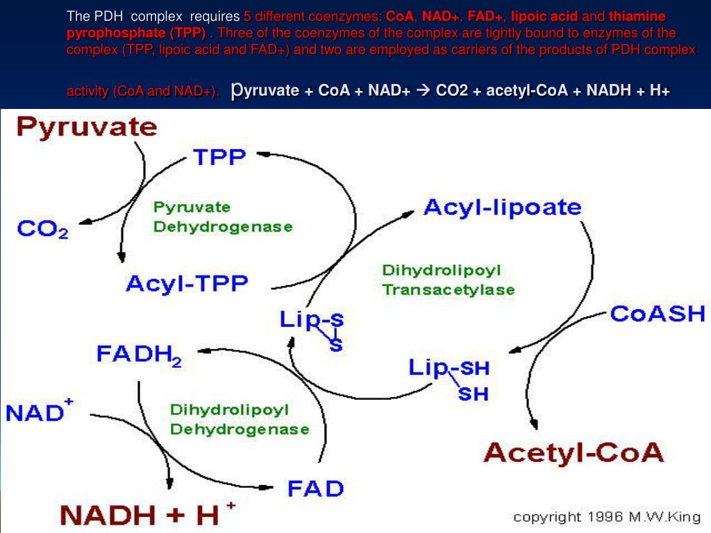 The PDH  complex  requires