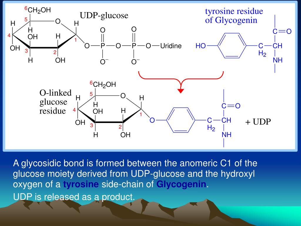 A glycosidic bond is formed between the anomeric C1 of the glucose moiety derived from UDP-glucose and the hydroxyl oxygen of a