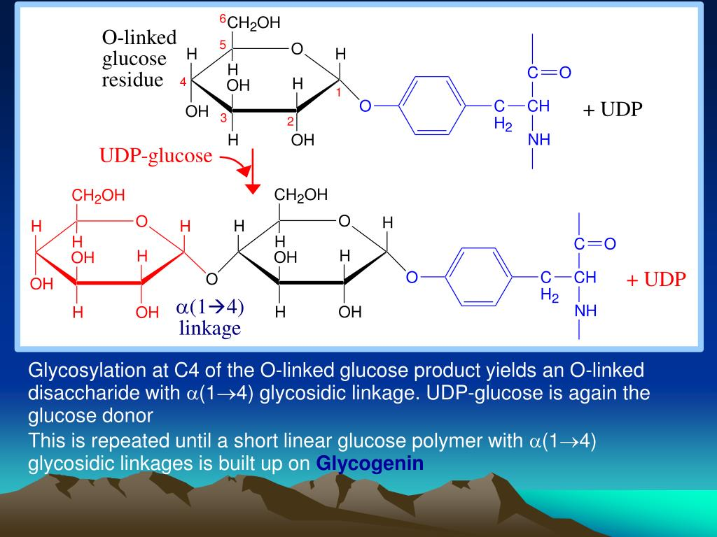 Glycosylation at C4 of the O-linked glucose product yields an O-linked disaccharide with