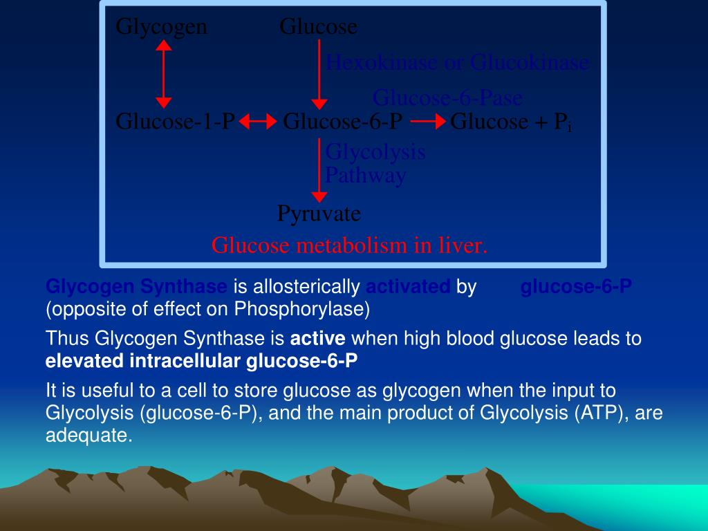 Glycogen Synthase