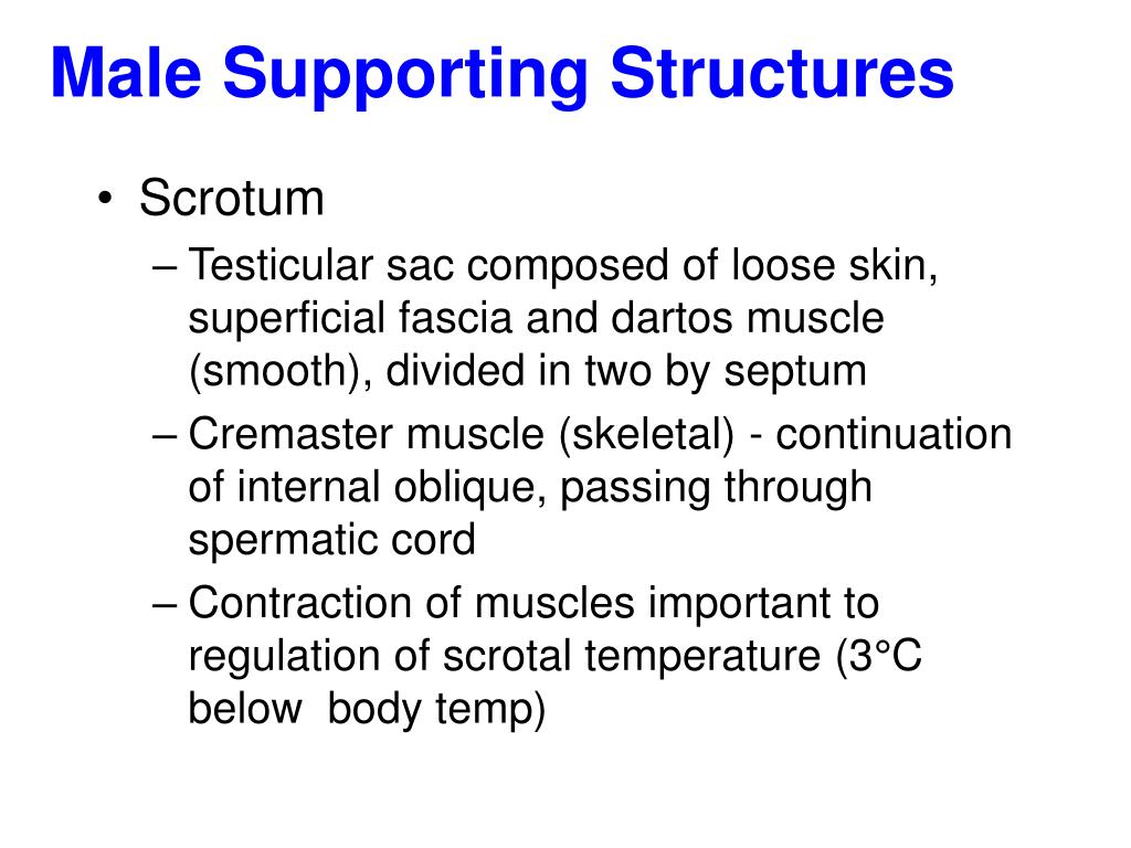 Male Supporting Structures