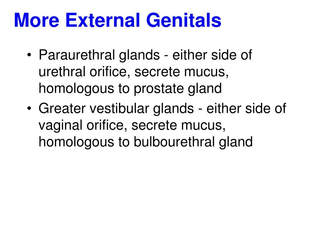 More External Genitals