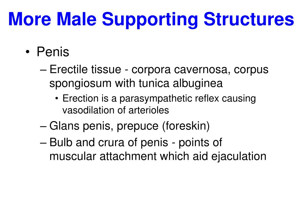 More Male Supporting Structures