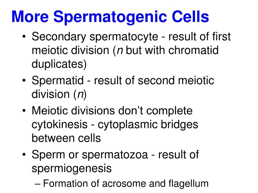 More Spermatogenic Cells