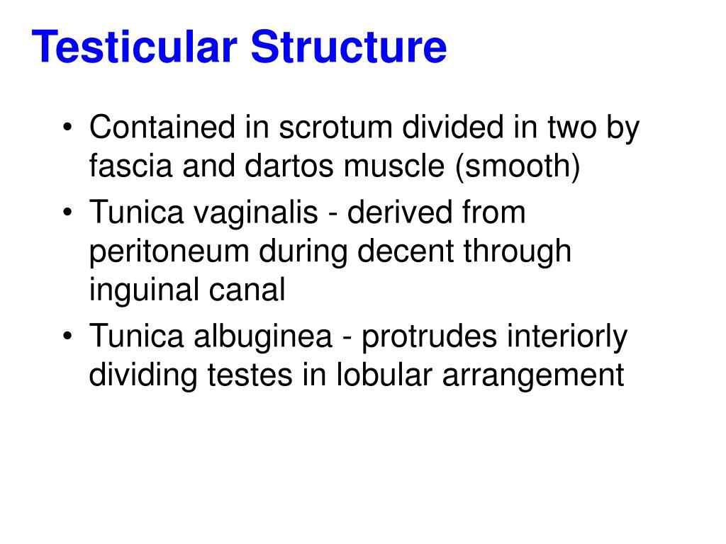 Testicular Structure