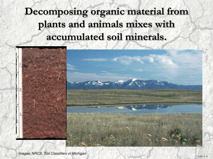 Decomposing organic material from plants and animals mixes with accumulated soil minerals.