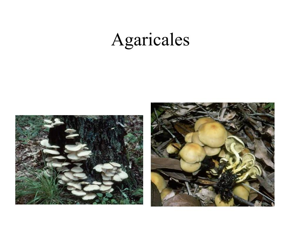 Agaricales