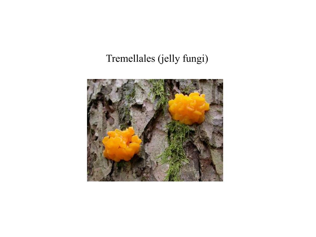 Tremellales (jelly fungi)