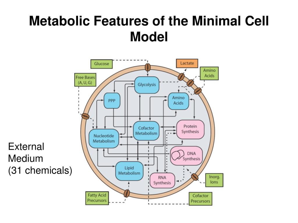 Metabolic Features of the Minimal Cell Model