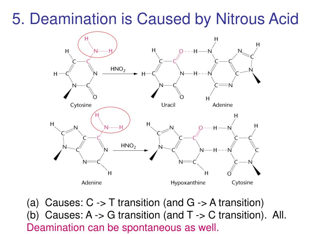 5. Deamination is Caused by Nitrous Acid