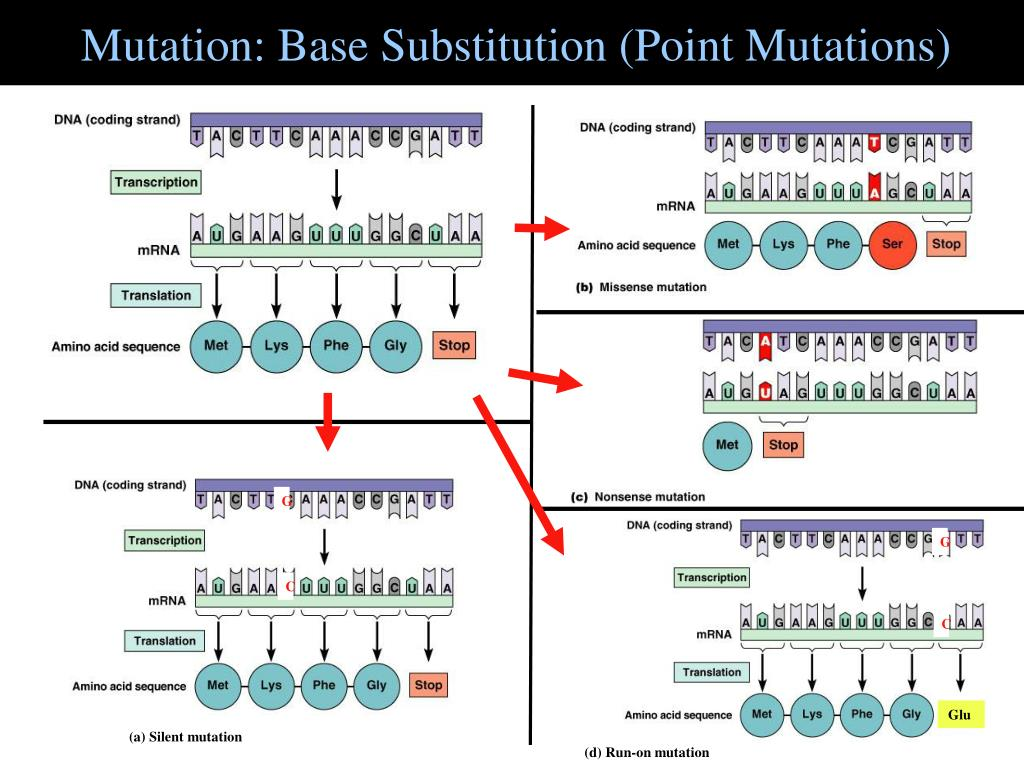Mutation: Base Substitution (Point Mutations)