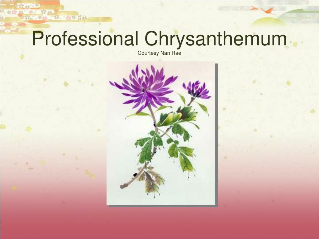 Professional Chrysanthemum