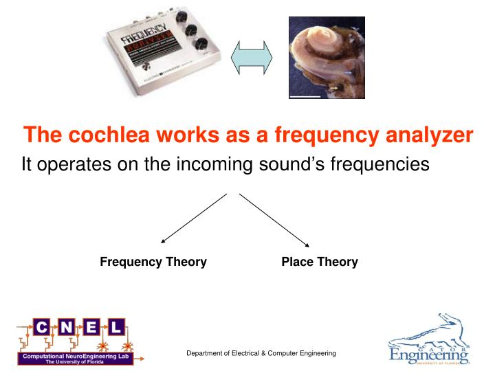 The cochlea works as a frequency analyzer