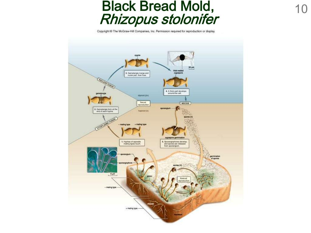Black Bread Mold,
