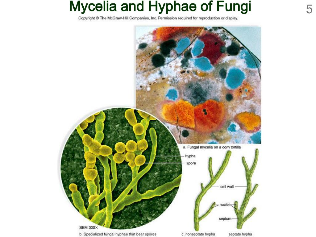 Mycelia and Hyphae of Fungi
